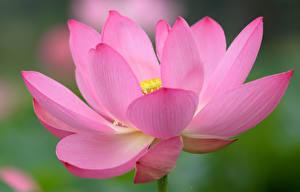 Fotos Lotosblume Makro Hautnah Rosa Farbe Blüte