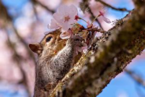Fotos Eichhörnchen Ast Japanische Kirschblüte Tiere