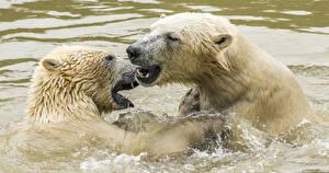 Photo Bear Polar bears Water 2 Animals
