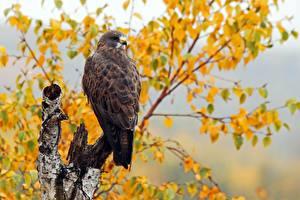 Hintergrundbilder Vogel Herbst Habicht Swainson's Hawk ein Tier