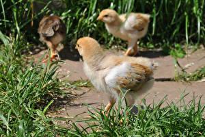 Fotos Vögel Hühner Gras Tiere