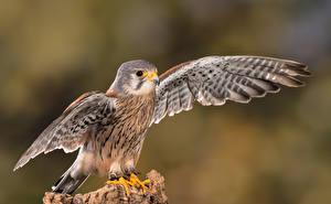 Hintergrundbilder Vogel Falken Flügel Kestrel