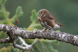 Hintergrundbilder Vögel Eulen Ast Northern pygmy owl Tiere