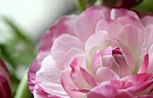 Bilder Nahaufnahme Makro Hahnenfuß Kronblätter asiaticus Blumen