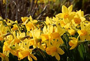 Fotos Narzissen Großansicht Gelb Blumen