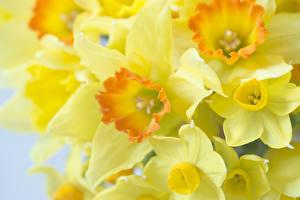 Fotos Narzissen Makro Großansicht Gelb Blumen