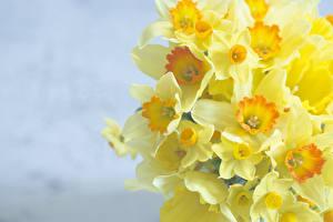 Hintergrundbilder Narzissen Gelb Blüte