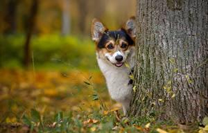 Fotos Hund Welsh Corgi Baumstamm Blick