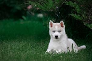 Pictures Dog White Puppy Husky Grass animal