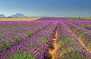 Fotos Frankreich Felder Lavendel Valensole Natur