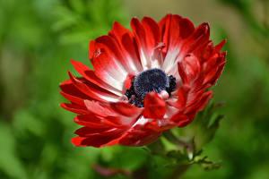 Fotos Makrofotografie Nahaufnahme Anemonen Rot Blumen