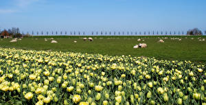 Wallpapers Netherlands Fields Grasslands Domestic pig Tulips Herd Beemster Nature