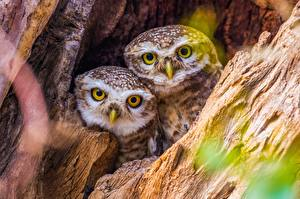 Photo Owl Birds Two Staring Cute Animals