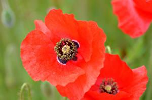 Hintergrundbilder Mohnblumen Makrofotografie Großansicht Rot Blüte