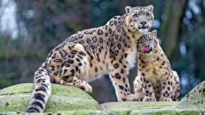 Pictures Snow leopards Two animal