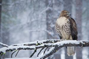 Bilder Winter Vogel Habicht Ast Schnee Red-tailed hawk Tiere