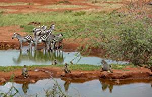 Bilder Zebra Affen Wasser Ast Tiere