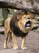 Images Big cats Lions Snout Angry Animals