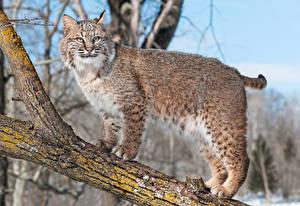 Hintergrundbilder Große Katze Luchse Starren Ast Tiere