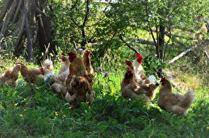 Bilder Vogel Haushuhn Gras