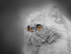 Bilder Katze Großansicht Perserkatze Blick Flauschige Graue Schnauze Grauer Hintergrund