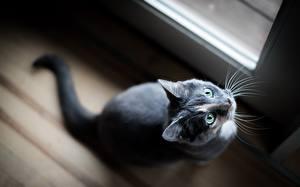 Desktop hintergrundbilder Katze Blick Grau Schnurrhaare Vibrisse ein Tier