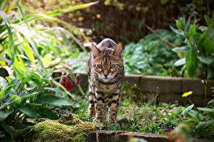 Fotos Katzen Bengalkatze