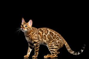 Fotos Katze Bengalkatze Schwarzer Hintergrund Blick Gold Tiere
