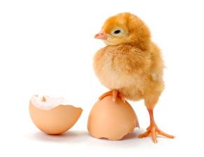 Bilder Hühner Weißer hintergrund Ei Pfote