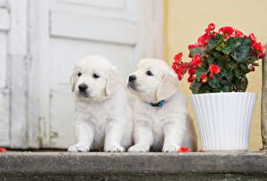 Pictures Dog Golden Retriever Retriever Puppies 2 White Animals