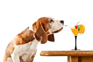 Fotos Hunde Saft Cocktail Weißer hintergrund Weinglas Beagle Tiere