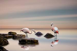 Hintergrundbilder Flamingos Stein Vogel Zwei