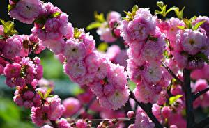 Bilder Blühende Bäume Großansicht Ast Rosa Farbe Blumen