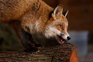 Hintergrundbilder Füchse Schnauze Blick ein Tier
