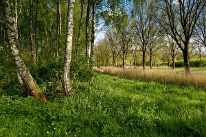 Bilder Niederlande Frühling Bäume Gras Birken Beverwijk