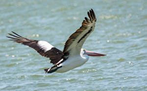 Bilder Pelikane Vögel Wasser Flug