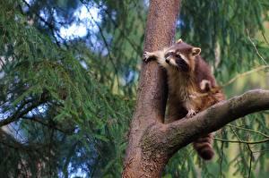 Hintergrundbilder Waschbären Ast Baumstamm Tiere