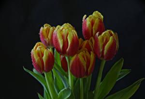 Bilder Tulpen Großansicht Schwarzer Hintergrund Tropfen Blumen