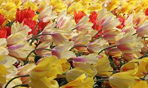 Hintergrundbilder Tulpen Viel Nahaufnahme Blüte