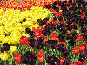 Fotos Tulpen Viel Großansicht Blüte
