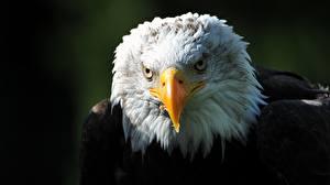 Fotos Vogel Habicht Großansicht Kopf Weißkopfseeadler Schnabel Starren Tiere