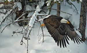 Sfondi desktop Aves Astore Inverno Volo Aquila calva Ali di uccello Neve