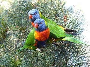 Hintergrundbilder Vögel Papageien Zwei Ast Tiere