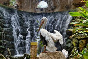 Hintergrundbilder Vögel Pelikane Wasserfall ein Tier Natur