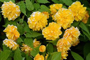 Hintergrundbilder Nahaufnahme Gelb Blattwerk Kerria Japonica Blumen