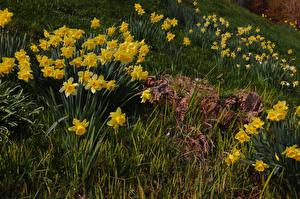 Hintergrundbilder Narzissen Gras Gelb Blumen