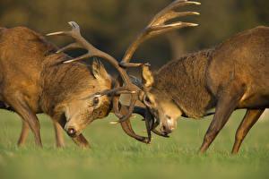 Fotos Hirsche 2 Horn Schlägerei Tiere