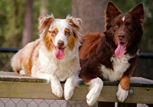 Hintergrundbilder Hunde Australian Shepherd Zwei Zunge