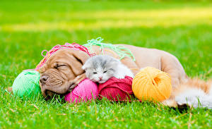 Images Dog Cat Dogue de Bordeaux Two Kitty cat Sleeping Grass Balls Animals