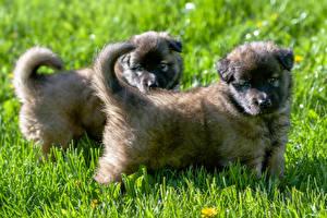 Photo Dog Grass Puppies 2 Shepherd Caucasian Animals